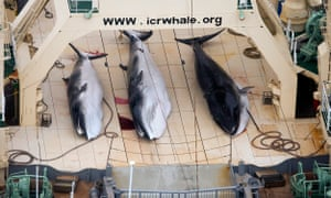 Three dead Minke whales on the deck of the Japanese ship Nisshin Maru in the Southern Ocean, January 2013.