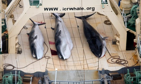 The idea of Japan resuming commercial whaling is horrifying