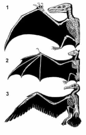 The anatomy of a pterosaur (1), bat (2), and bird (3).