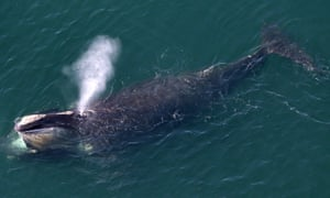 An aerial view of a right whale erupting from the blow hole while feeding off the shores of Duxbury Beach, MA.