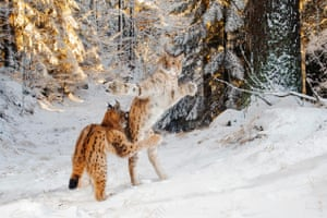 Two young wildcats in combat in the snow in Germany