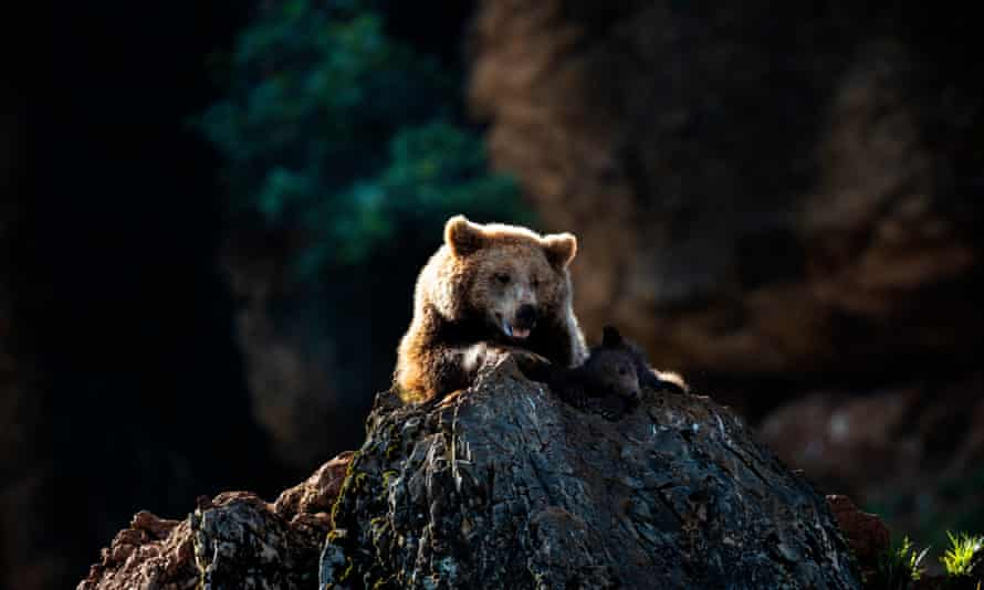 A brown bear, the same species as Goiat, at a wildlife park in Santander.