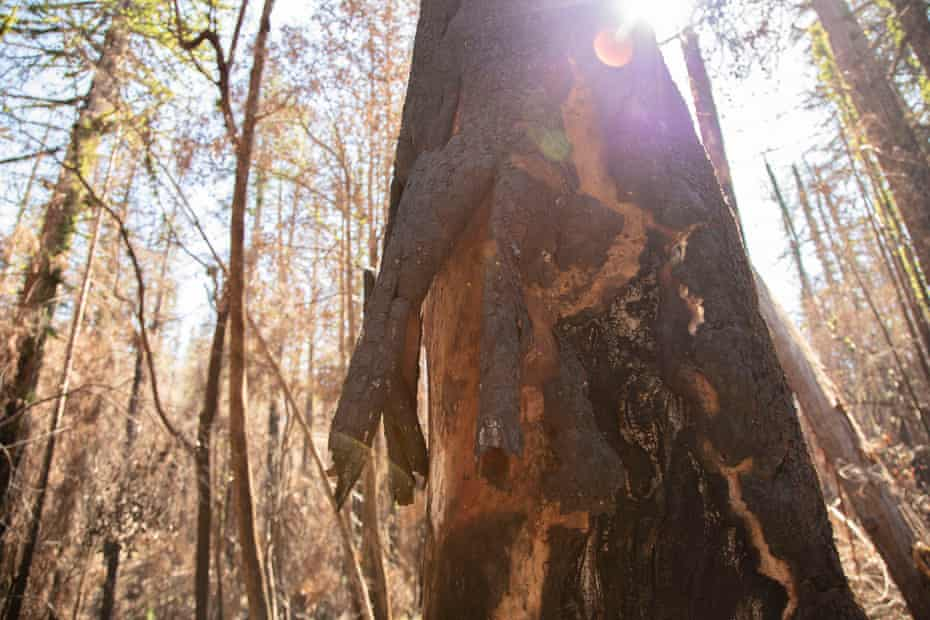 Flames from the wildfire burned through the thick bark on some trees, singeing through to the wood underneath.