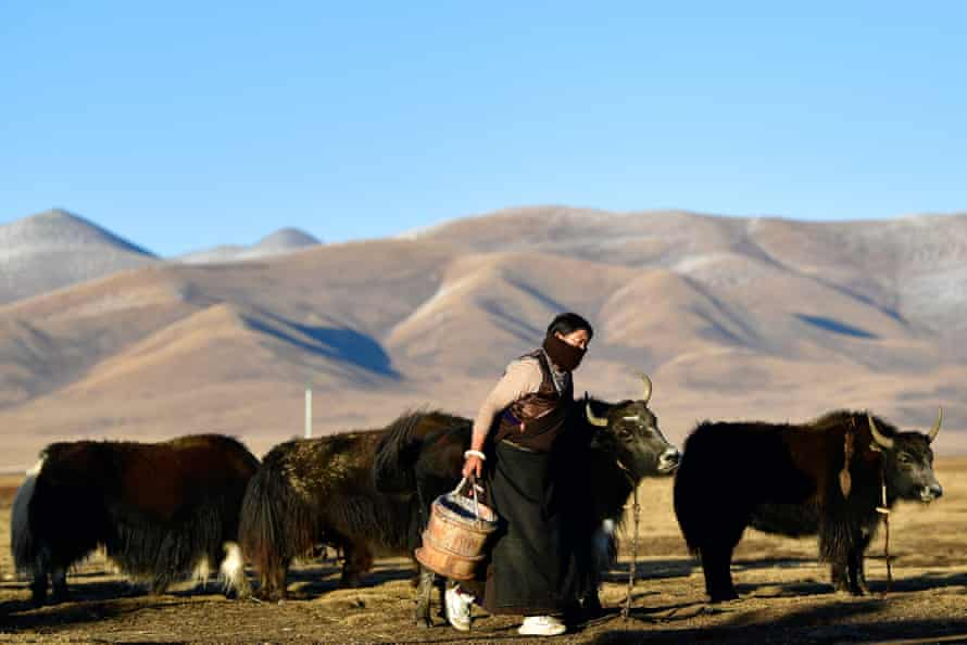 A herdswoman prepares to milk yak at Jiatang in Chindu County, in the Tibetan autonomous prefecture of Yushu, China.