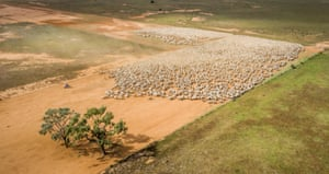 A mob of 6,000 ewes coming in for shearing at Wyvern Station, Carathool, New South Wales.