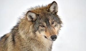 A wolf looking at camera