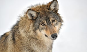 Eastern wolf (Canis lupus lycaon) in snow, captive, portrait, Baden-Wurttemberg, GermanyHHWK34 Eastern wolf (Canis lupus lycaon) in snow, captive, portrait, Baden-Wurttemberg, Germany