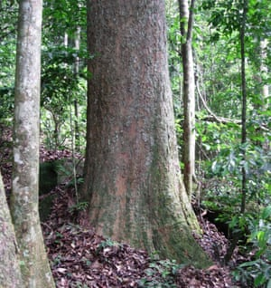 Another new discovery was a 45m tree, Gilbertiodendron maximum, weighing more than 100 tonnes, which is known only in the rainforest in Gabon and is critically endangered