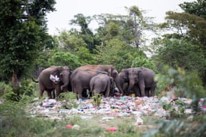 Wild Sri Lankan elephants search for food in a dumpsite on the outskirts of a small town bordering the Wasgamuwa national park