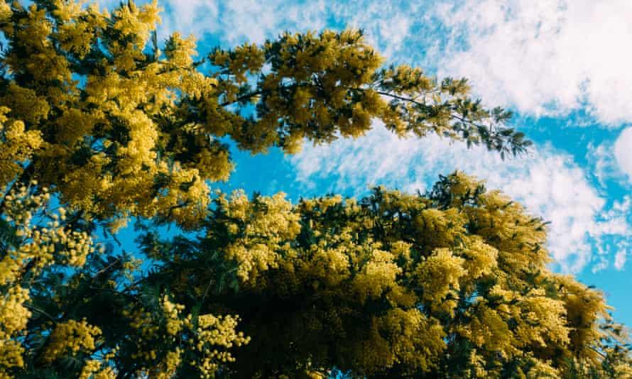 Flowering mimosa tree in London