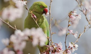 Ring-necked parakeets are thriving in the UK, mostly inside the M25. With numbers put at around 32,000 in 2012, there is a potential for economic damage, especially to fruit farms and vineyards.