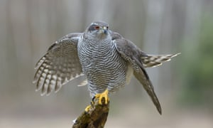 Scottish Gamekeeper Banned Over Alleged Goshawk
