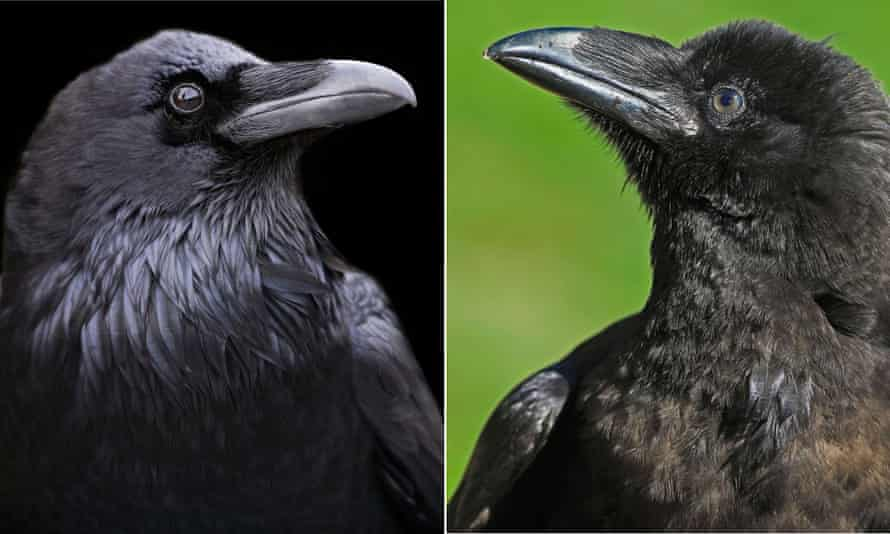 The California raven, left, and the Holarctic raven appear to be in the process of becoming one species, say researchers.