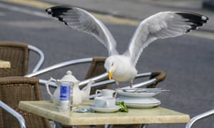 A herring gull stealing food from a cafe table in Cornwall.