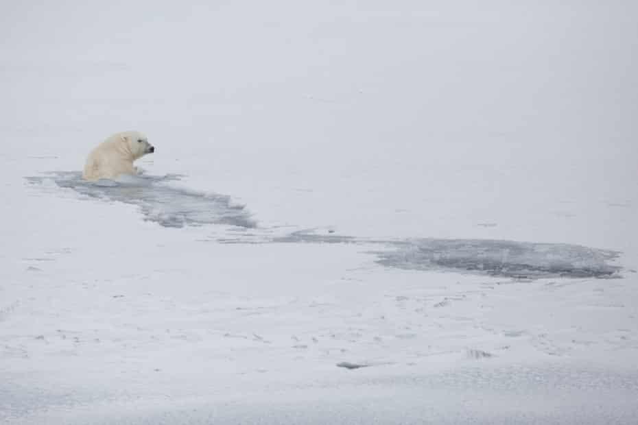 A polar bear swims in Svalbard