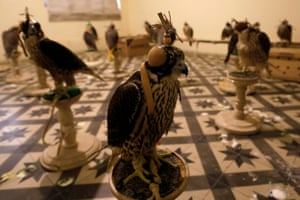 Falcons are seen at the office of the Anti-Smuggling Organisation of Pakistan Customs after they were seized in Karachi