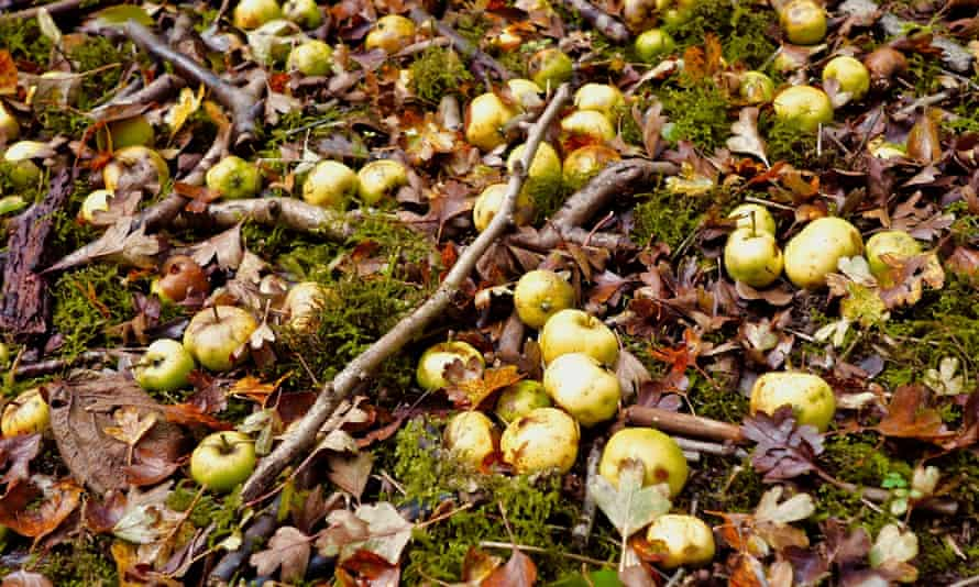 A cartload of crab apples on the woodland path.