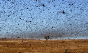A swarm of the red locusts in Madagascar, detroying local vegetation.