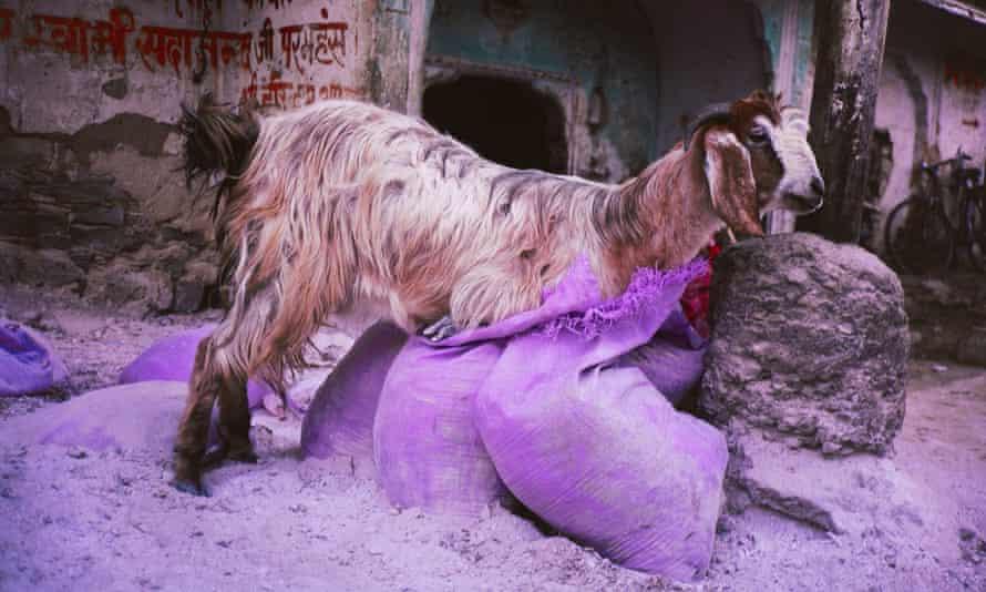 Gabriel Orozco's Goat in Purple Bag, 1996.