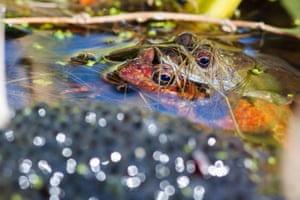 Two common frogs mating next to a pile of spawn, a sure sign that spring is under way, in Hailsham, East Sussex, UK