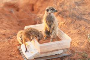 Ecology in action category winner: Dominic Cram. Meerkat morning weights.