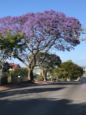 A  jacaranda tree extending over a street in Banyo, Brisbane