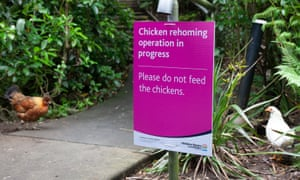 A plague of feral chickens is terrorising Titirangi, Auckland, New Zealand