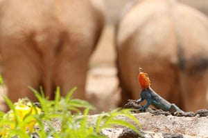 A rainbow agama lizard poised to catch an insect at Ngulia Safari Lodge in Tsavo West National Park, Kenya.