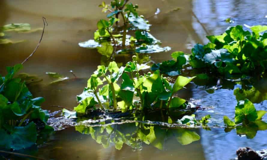 Marsh marigold on the river Tern