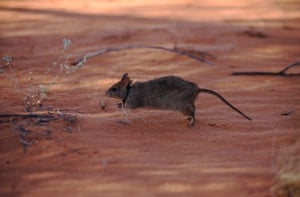 Good news also for the greater stick-nest rat which has been reclassified as 'near threatened', it was previously placed in the more serious category of 'vulnerable species'. It builds a nest that may be a meter high and over a meter in diameter.