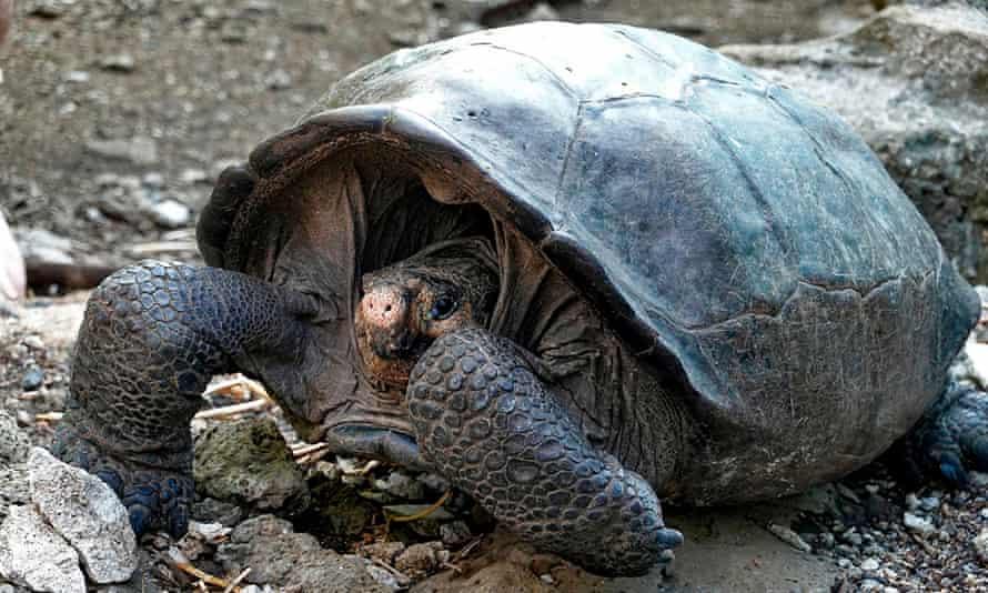 The Fernandina giant tortoise (Chelonoidis phantasticus) at Galapagos national park.