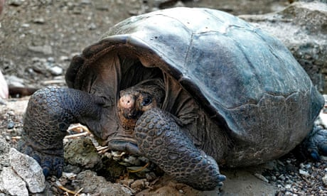 Giant tortoise believed extinct for 100 years found in Galápagos