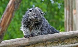 A binturong at Chester zoo.