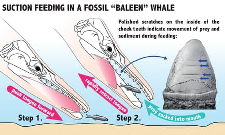 Suction feeding in a fossil whale.