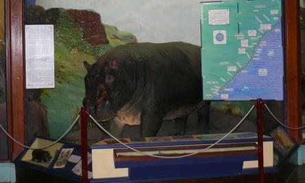 A Huberta the hippo museum exhibit.