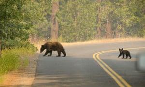 bear death California
