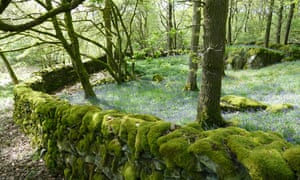 Moss-covered drystone walls in Mike's Wood
