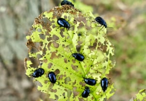 Henley-on-Thames, UK. Flea beetles eat their way through the leaves by the riverbank in Oxfordshire