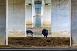Landscapes of the Lage Landen category winner Galloways Under the Bridge by Karin de Jonge (Netherlands)