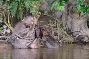 A pair of beavers, among the first to be legally released into the wild in England, have been spotted with the largest brood of kits on record in Europe