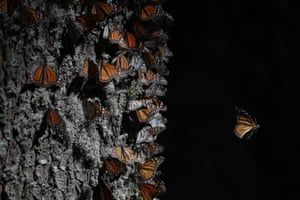 A monarch butterfly takes off from a tree trunk