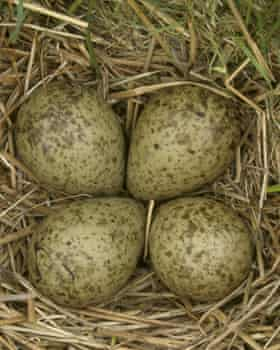 curlew eggs