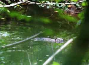 A beaver swimming in the Houille, near the Meuse river, near Thilay, France