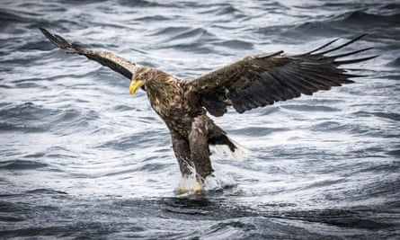 A white-tailed eagle swoops on a fish off the Isle of Mull