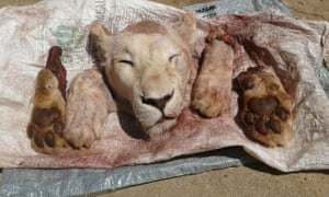 Lion's head and paws retrieved after a suspect was arrested in connection with the killing of a lion