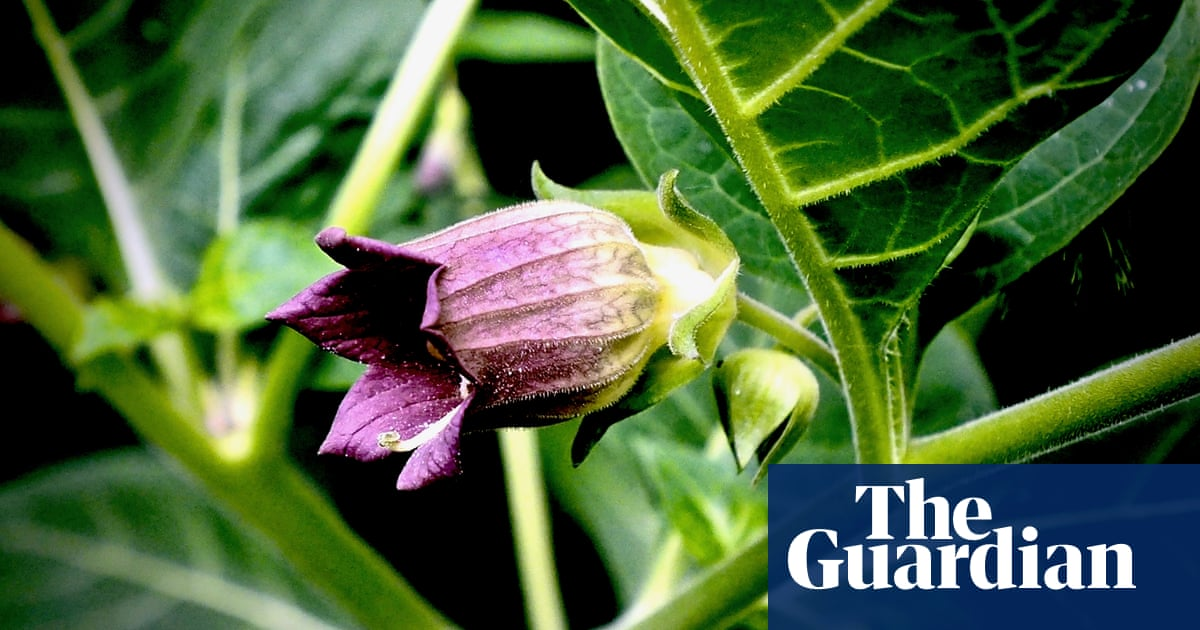 Country diary: the secrets of deadly nightshade