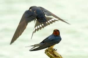 Visiting swallows stay low in high winds at a lake near Dunstable in England, UK