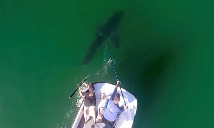 Marine biologists from the shark lab study sharks along the California coast.