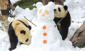 Pandas play in the snow at the Chengdu Research Base of giant panda breeding in Chengdu in China's southwestern Sichuan province.