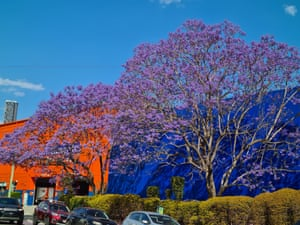 Purple jacaranda leaves contrasting against blue and red walls in Milton, Brisbane